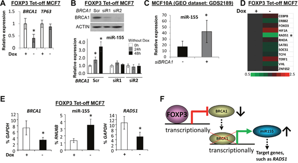 FOXP3-BRCA1-miR-155 axis in human breast cancer cells.