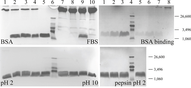 Stability and binding studies on peptide R-DIM-P-LF11-334.