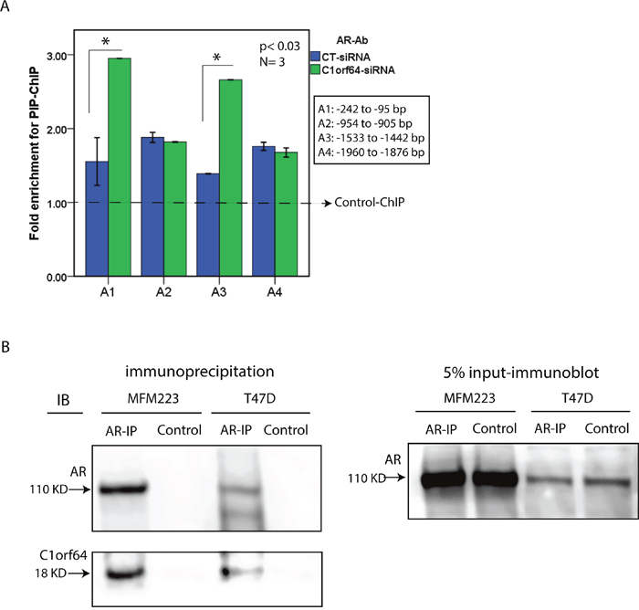 The effect of C1orf64 on AR promoter binding and the interaction between C1orf64 and AR.