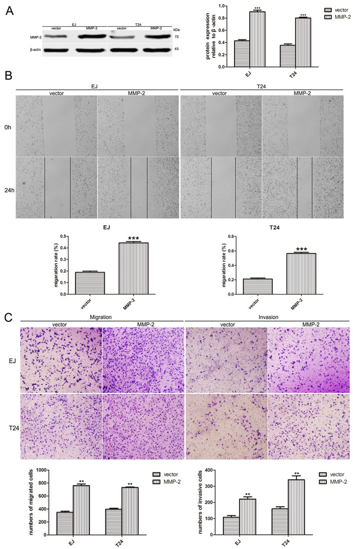 Overexpression of MMP-2 rescues cell migration and invasion of BUC cells