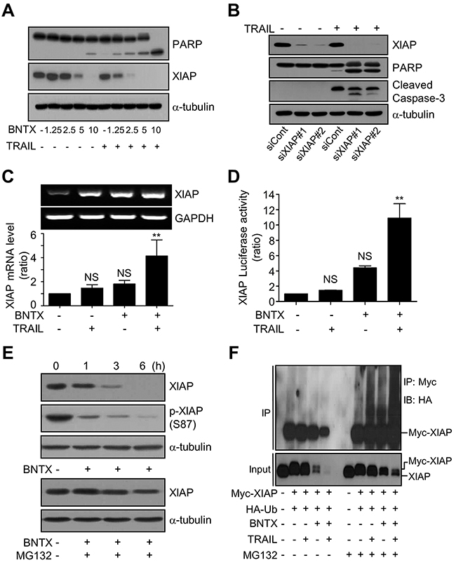 BNTX promotes the ubiquitin/proteasome-dependent degradation of XIAP in AsPC-1 cells.