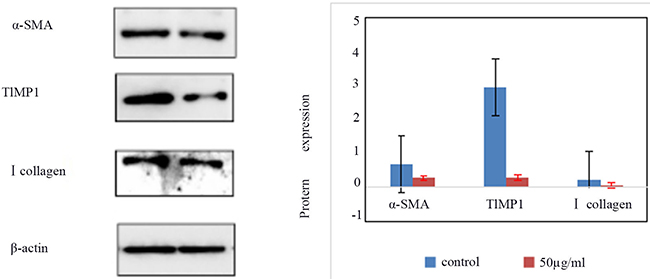 The expression of α-SMA, TIMP1, type I collagen in control group and HSCs-T6 cells treated with 50ug/ml of blueberry anthocyanin for 36h.