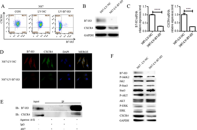 Oncotarget | B7-H3 promotes gastric cancer cell migration and invasion