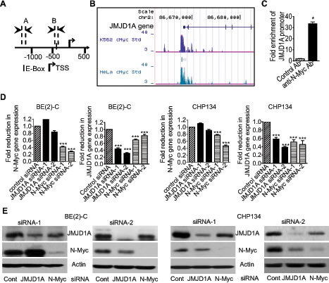 N-Myc up-regulates JMJD1A gene expression by directly binding to the JMJD1A gene promoter.