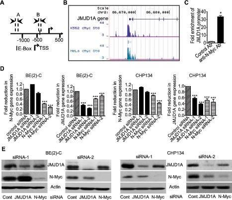N-Myc up-regulates JMJD1A gene expression by directly binding to the JMJD1A gene promoter.