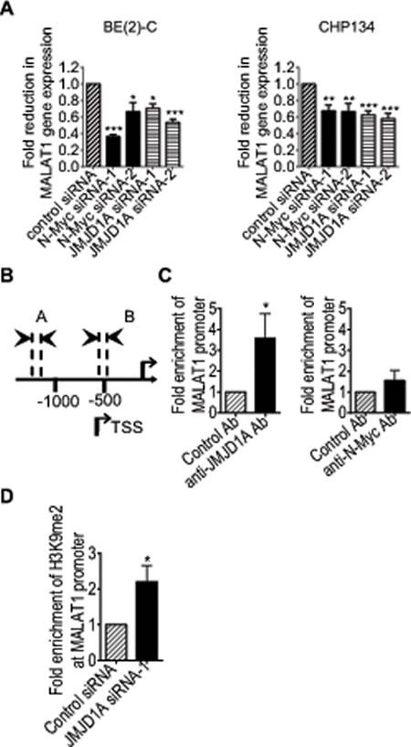 JMJD1A up-regulates MALAT1 gene transcription by demethylating histone H3K9 at the MALAT1 gene promoter.