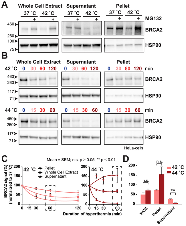 BRCA2 moves to an insoluble fraction after treatment with MG132 or 44 °C.