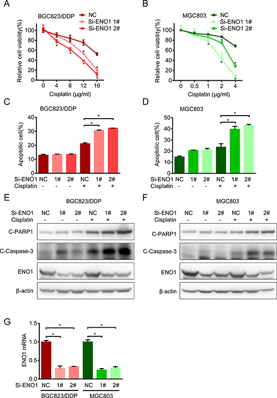 Knockdown ENO1 increased sensitivity to cisplatin.