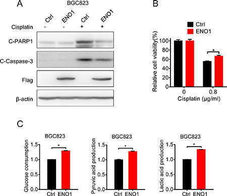 Overexpression of ENO1 in cisplatin-sensitive cells induced cisplatin-resistance by glycolysis promotion.