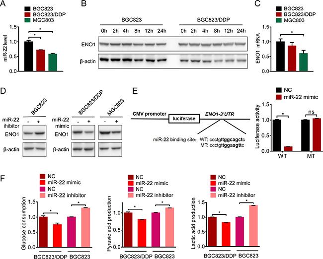 microRNA-22 targeted ENO1 mRNA.