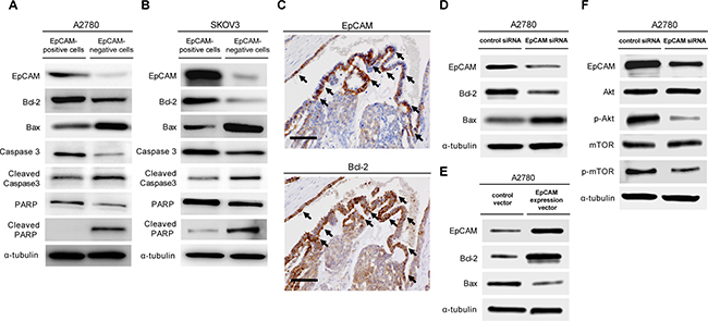 The subpopulation of EpCAM-positive ovarian cancer cells prevents platinum anticancer drug-induced apoptosis.