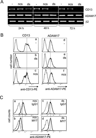 Impact of CD13 inhibition by siRNA on MY7-mediated ADAM17 downregulation in U937 cells.