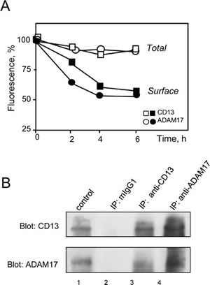 MY7-mediated internalization of CD13 and ADAM17; CD13/ADAM17 association.