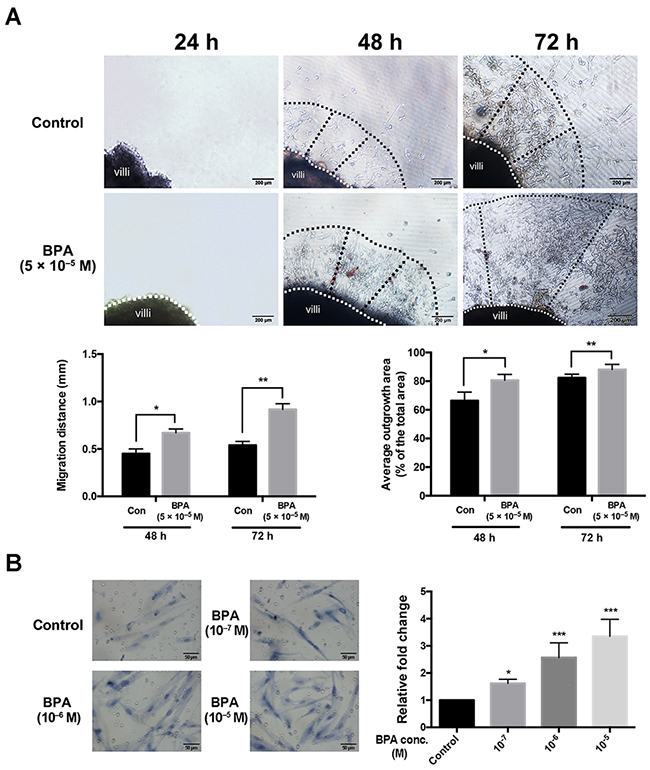 Migration and outgrowth of the trophoblast from explanted first trimester placental villi in the presence and absence of BPA.