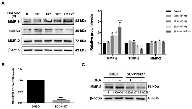 MMP-9, TIMP-3 and MMP-2 expression in HTR-8/SVneo cells exposed to BPA.