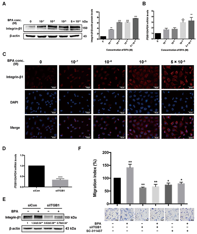 Integrin-β1 (ITGB1) expression in HTR-8/SVneo cells treated with BPA.
