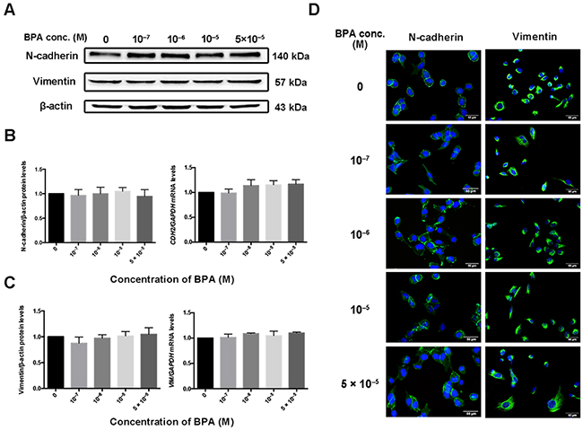 Expression of CDH2 and VIM in HTR-8/SVneo cells exposed to BPA.