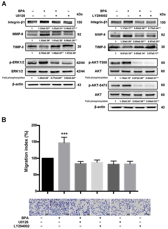 BPA-stimulated HTR-8/SVneo cell migration, MMP-9 and integrin-β1 upregulation, as well as MAPK and PI3K signaling pathways activation.