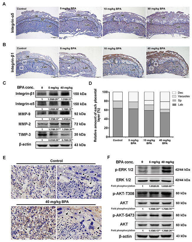 BPA-induced impaired placentation, upregulation of integrins and MMPs as well as activation of MAPK and PI3K signaling pathways in mice.