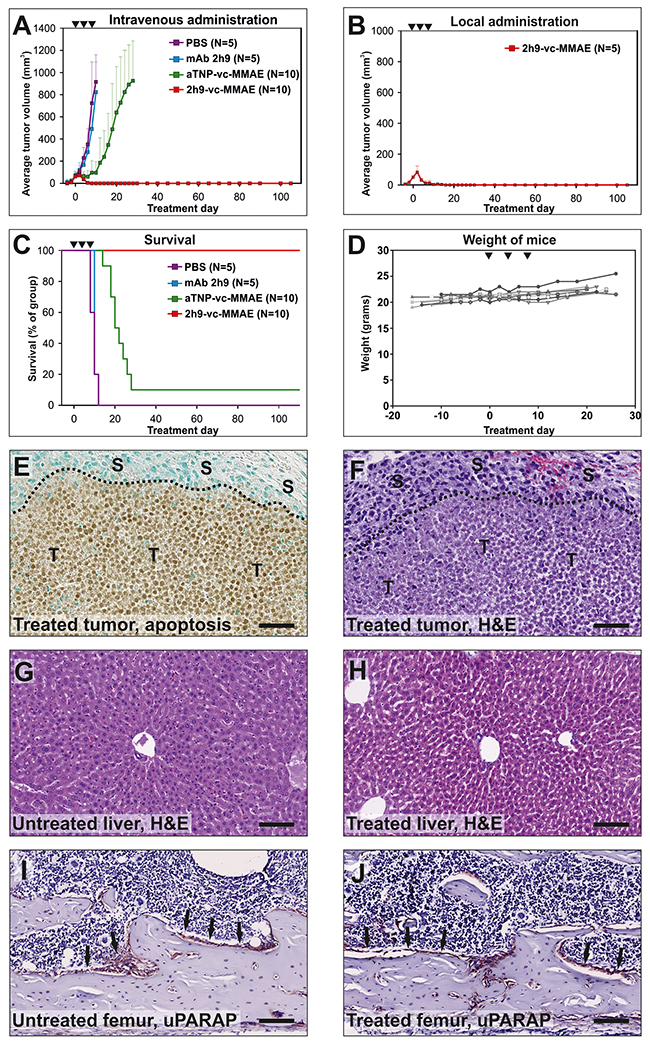 Treatment of tumors in vivo: Eradication of subcutaneous U937 tumors by intravenous administration of 2h9-vc-MMAE.