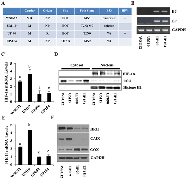 Characterization and differential expression of metabolism regulators between HPV-negative and HPV-positive HNSCC cell lines.