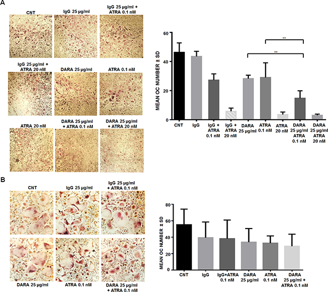 ATRA treatment increases DARA effects on OC differentiation.