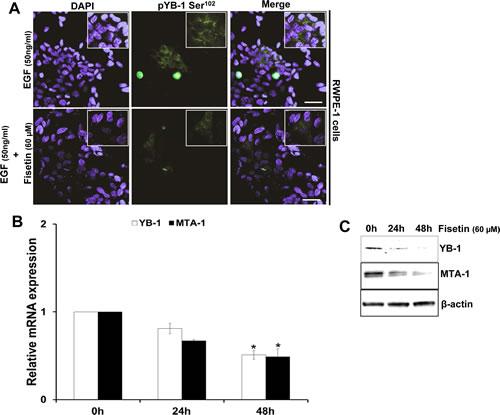 Fisetin inhibits EGF induced YB-1 phosphorylation and MTA-1 expression.