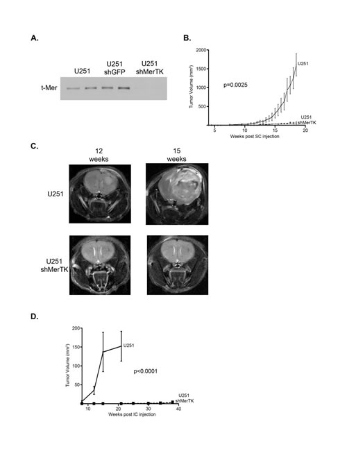 Specific MerTK inhibition with shRNA profoundly limits subcutaneous and intracranial human glioma growth.