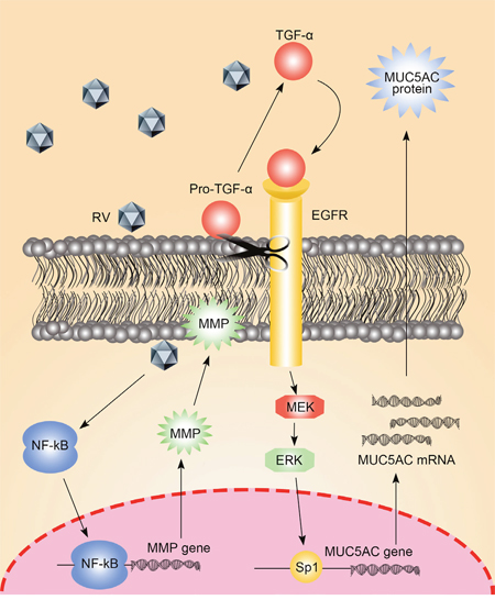 The molecular mechanism of EGFR in the regulation of MUC5AC.
