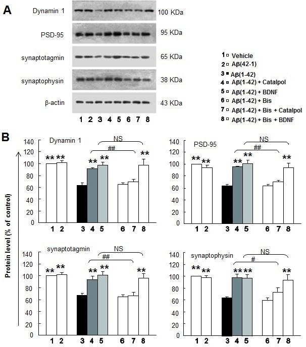 The effects of catalpol (10 µM) and BDNF (1.85 nM) on synaptic protein expression of Aβ