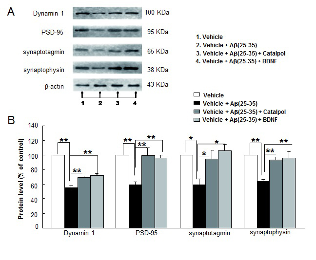 Catalpol (10 µM) and BDNF (1.85 nM) enhance synaptic protein expressions of Aβ