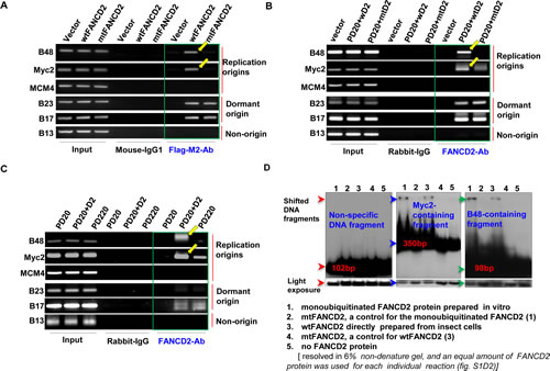 Monoubiquitinated FANCD2 strongly interacts with replication origins in vivo and in vitro A.
