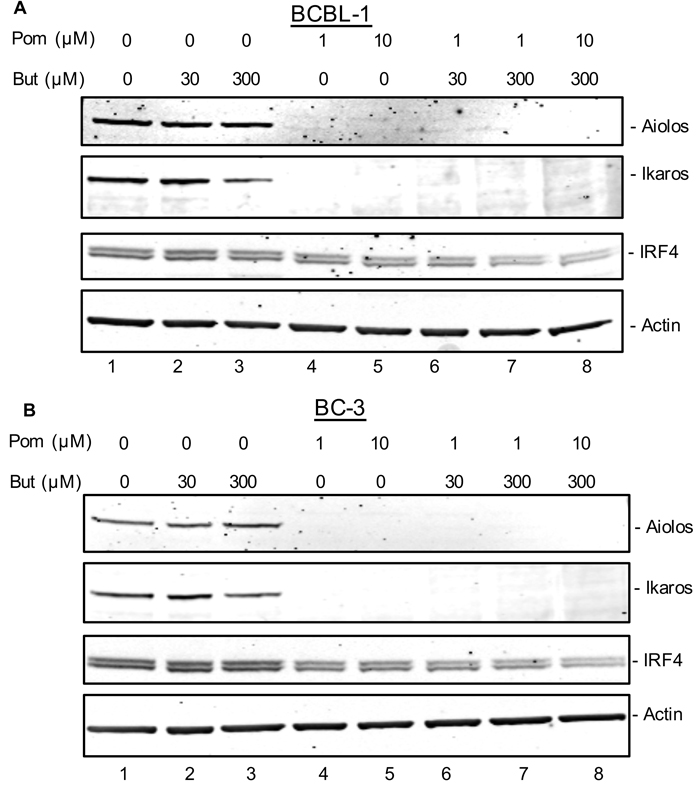 Effect of Pom on Ikaros, Aiolos, and IRF-4 expression in latent and lytic BCBL-1 and BC-3 cells.