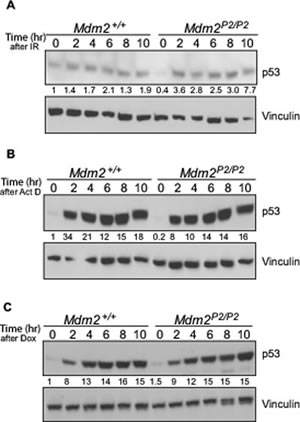p53 is induced in response to stress signals similarly in