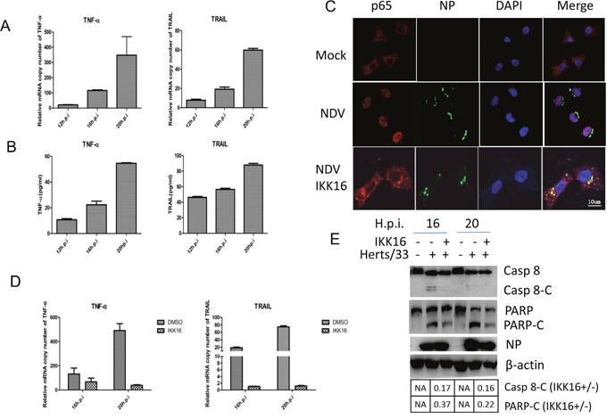 TNF-α and TRAIL are up-regulated via NF-кB pathway and promotes caspase 8 activation in NDV-infected HeLa cells.