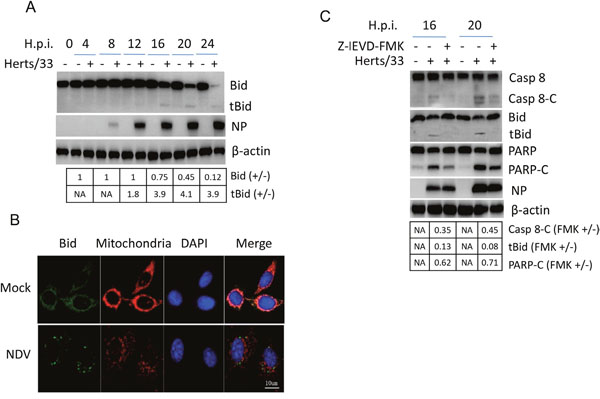 Bid is cleaved by caspase 8 and promotes apoptosis during NDV infection.