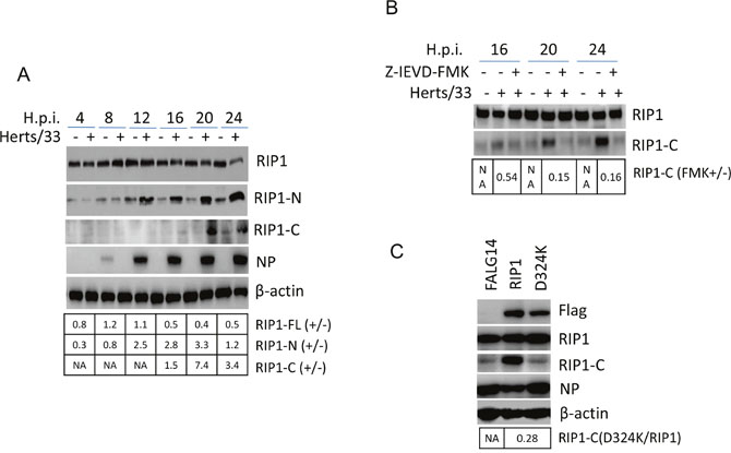 The cleavage of RIP1 at D324 by caspase 8 promotes apoptosis during NDV infection.