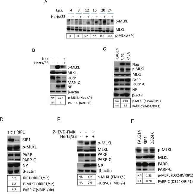 RIP1 regulates apoptosis and necroptosis during NDV infection.