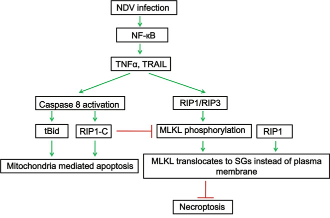 RIP1 is a central signaling protein in regulation of TNF-α/TRAIL mediated extrinsic apoptosis and necroptosis during NDV infection.