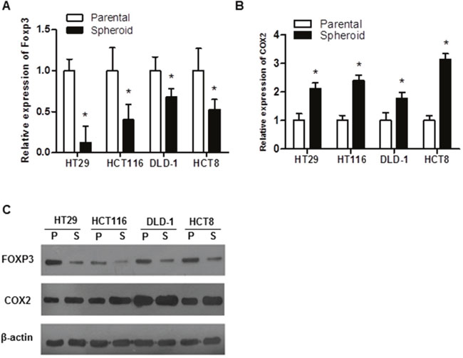 Expression of FOXP3 in colorectal cancer cell lines.