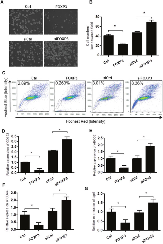 FOXP3 inhibits the self-renewal of the colorectal cancer stem cells.
