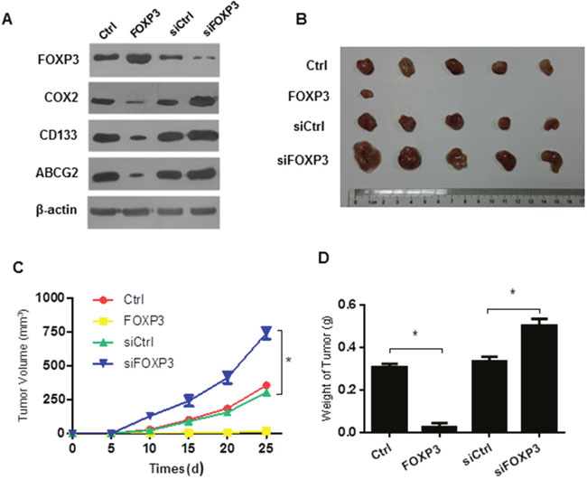 FOXP3 inhibits tumor formation in the xenograft model.