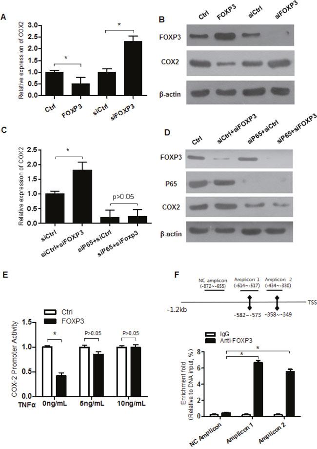 FOXP3 represses COX2 expression via p65.