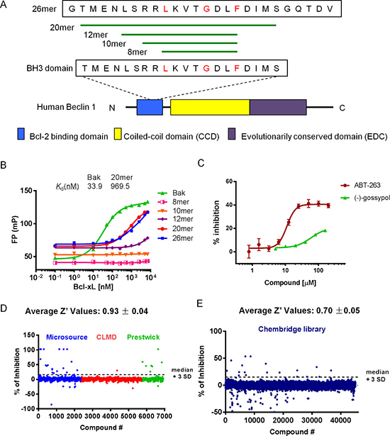 FP-based HTS for Beclin 1 mimetics.