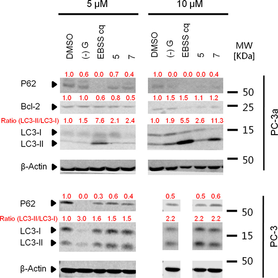 Acridine compounds induce autophagy in PC-3 and PC-3a cancer cells.