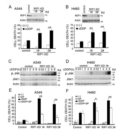 RIP1 knockdown potentiates cisplatin-induced cytotoxicity involving JNK activation.