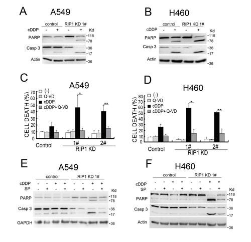 RIP1 knockdown potentiates cisplatin-induced and JNK-mediated apoptosis.