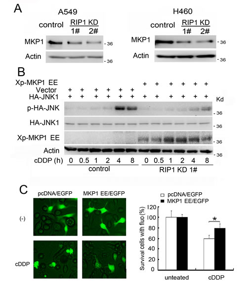 Reduced MKP1 expression contributes to cisplatin-induced JNK activation and cytotoxicity in RIP1 knockdown cells.