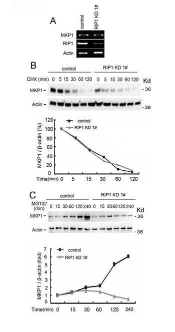 Reduced MKP1 protein synthesis rate in RIP1 knockdown cells.