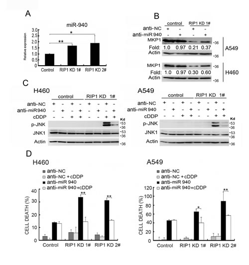 Increased miR-940 expression is involved in MKP1 suppression in RIP1 knockdown cells.